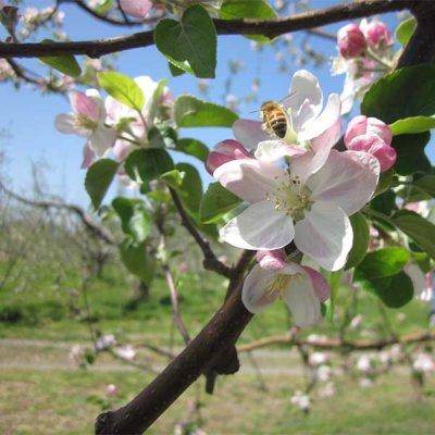 画像2: りんご シナノゴールド 贈答品 10キロ箱サイズ 【送料込み】