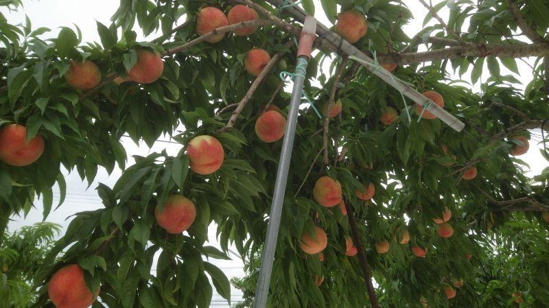 桃の収穫が来週19日あたりから始まります!