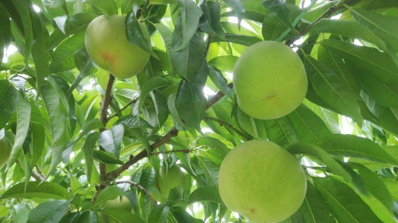 桃の収穫までもうすぐ・・・